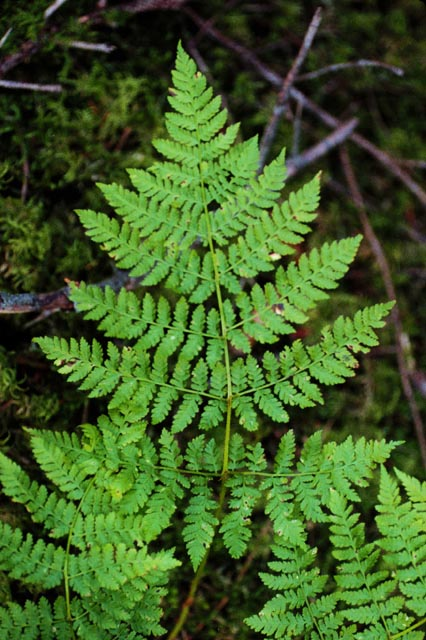 Fern photo by Pricilla Russell - Kodiak Alutiiq Plantlore